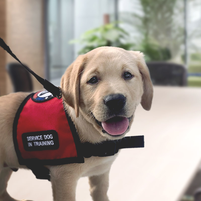 Photo of Captain the Service Puppy